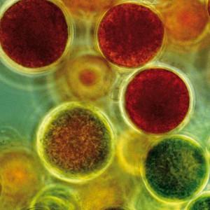 Haematococcus_pluvialis_astaxanthin